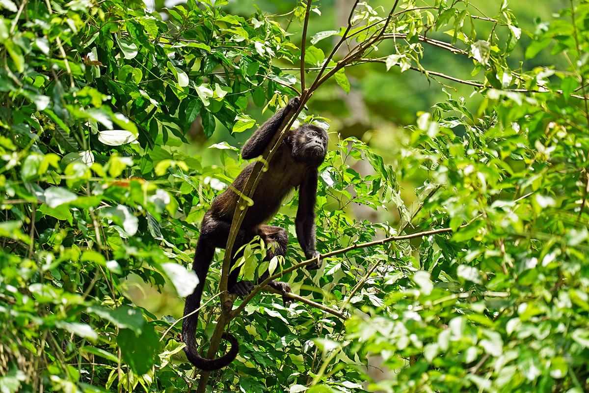 Mantled Howler Monkey at Lalo Loor Dry Forest